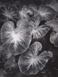 Ansel Adams, Leaves, Foster Gardens, Honolulu, Hawaii, 1957-58, gelatin silver print, 13 x 10, Center for Creative Photography, University of Arizona.