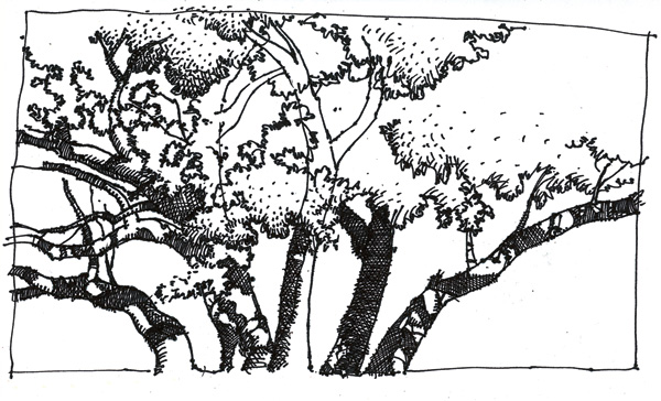 Ray-Mel Cornelius, Oak Tree, ink, 4 x 7.