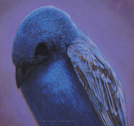 Kate Breakey - INDIGO BUNTING 2, HAND-COLORED