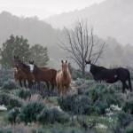 Jicarilla Wild Horses by Kim Diloreto