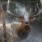 Jay Kemp, Close Encounter—Bull Elk, acrylic, 36 x 48.