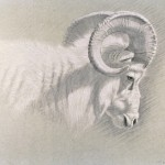Timothy David Mayhew, Right side head and shoulder study of a Dall ram, natural black and natural white chalk, 10 x 14.