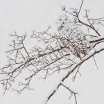 Mark Eberhard, Snowy Owl, oil, 24 x 24.