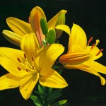 Lilies, oil, 11 x 14.