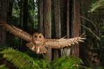 Michael Nichols, Northern Spotted Owl, California, 2009.