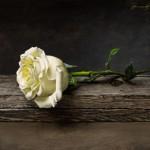 Jeremiah J. White, White Rose, oil, 8 x 11.